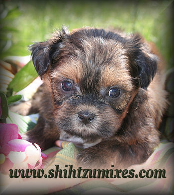 Teddy Bear Puppies Black And White Shichon puppies for sale
