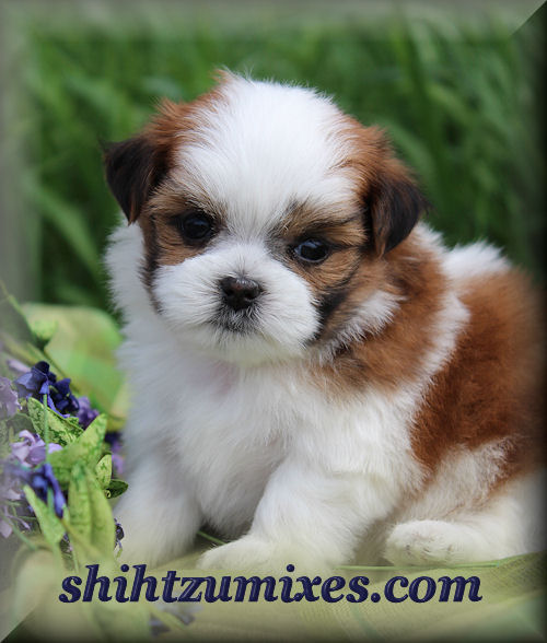 Adorable Shichon Puppies Or Teddy Bear Puppies For Sale