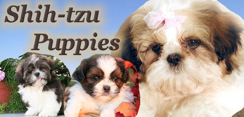 Shih Tzu Puppies For Sale In Illinois Near Chicago