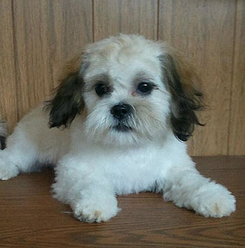 Shichon Puppies on These Are Some Of Our Past Shichon Puppies For Sale  Or Malshi Puppies