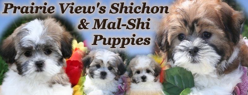 Shichon Or Teddy Bear Puppies For Sale In California